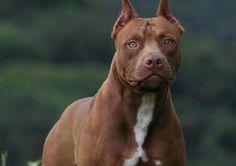 What a beautiful pitbull dog