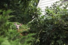 I've taken the dog out on her leash and rushed toward them, though her lunges and cries, like mine, only seem to amuse the deer before they reluctantly, elegantly and temporarily, move off. Continue reading this opinion essay at The New York Times. (Photo: Susan Stava for The New York Times)