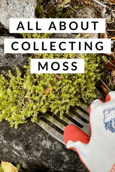 Moss is a beautiful element in garden design, living art, and indoor gardens. Moss is also a key ingredient in arrangements such as kokedama, terrariums,… Moss Garden, Succulents Garden, Water Garden, Garden Terrarium, Succulent Terrarium, Plants For Terrariums, Turtle Terrarium, Terrarium Ideas, Outdoor Plants