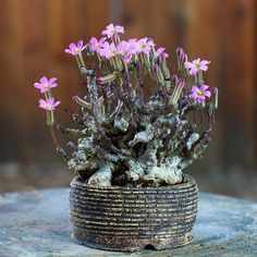 Tylecodon schaeferianus is a small succulents. This dwarf, highly branching plant makes a clump of interwoven, thin gray-green stems up to 4 in tall, arising from a tuberous root. Succulent Bonsai, Propagating Succulents, Succulent Gardening, Succulents In Containers, Cacti And Succulents, Planting Succulents, Cactus Plants, Unusual Plants, Rare Plants