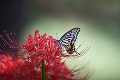 Swallowtail, Flowers For, Red Color
