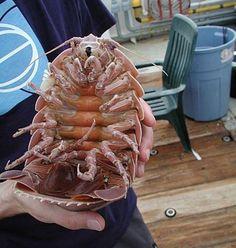 """Junto com o raro tubarão-gnomo encontrado no Golfo do México (na foto anterior), foram """"pescados"""" vários isópodes gigantes (Bathynomus giganteus) como este da foto, que é macho. Foi Andrew Thaler, um ecologista de alto-mar que chamou a atenção na CNN para o fato de nunca ter visto tantos isópodes gigantes em um só lugar. """"Imagine um carrapato do tamanho de gato"""", disse. O isópode gigante pode crescer até 40 centímetros e sobrevive no fundo do mar ao se alimentar de corpos em decomposição…"""