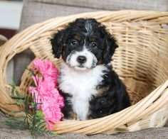 Lancaster Puppies has lots of hybrid breeds like the poodle mix. Find your furry friend here! Puppies For Sale, Dogs And Puppies, Poodle Mix Puppies, Lancaster Puppies, Purebred Dogs, Animals Dog, New Puppy, Mans Best Friend, Dog Breeds