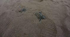 Babyschildkröten in Tortuguero