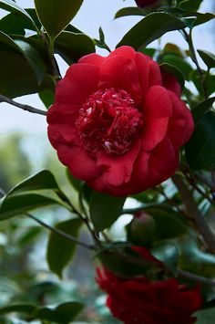 The Camellia is a genus of attractive evergreen shrubs famed for their winter-to-spring blooms. Several popular species are widely used in home landscaping, including the East Asian Camellia, the Christmas Camellia, and the Tea Plant. Depending on the variety selected, Camellias can be used as hedges and screens, foundation plants, and garden specimens. In larger gardens, they can be planted in masses to great effect. Zones: 7-9