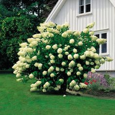 Hydrangea Paniculata Grandiflora, Garden Plants, House Plants, Flowering Trees, Garden Inspiration, Garden Ideas, Perennials, Landscape, Fruit