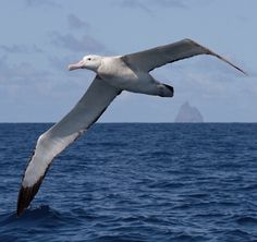 27 Best Albatross Images Beautiful Birds Sea Birds Birds In Flight