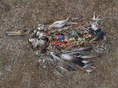 Where your plastic goes. Chris Jordan's image of an albatross chick killed by injesting plastic.