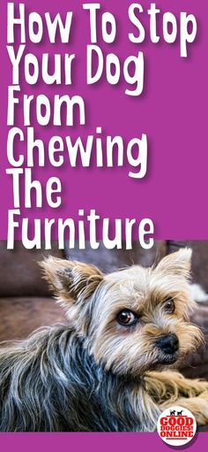 If your dog or puppy is chewing on the furniture, check out these dog training tips to stop this problem behavior. Whether it's the couch, sofa, table or any other item in the house you can stop dog chewing. #dogs #dogtraining