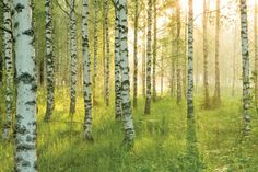 Birkenwald X, picture from the series Birch Forest by André Wagner, LUMAS Artist ✓ Birch Forest, Wild Forest, Magic Forest, Landscape Photos, Landscape Photography, Nature Pictures, Beautiful Pictures, Forest Painting, Chiaroscuro