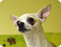 *** GREAT NEWS! *** I'VE BEEN ADOPTED!!!  Searcy, AR - Chihuahua Mix. Meet Chip, a dog for adoption. http://www.adoptapet.com/pet/12205423-searcy-arkansas-chihuahua-mix