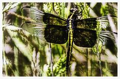 The beauty of a dragonfly is captured in this unique digital watercolor ink and wash style painting. Dragonflies can be seen throughout the warmer months darting about and devouring mosquitos and other undesirable insects. They are a welcome sight and watching their aerial acrobatics is always a treat.