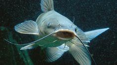 catfish - Buscar con Google