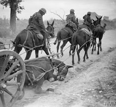 A mule of the Division in a limber team just hit by a shell splinter at Remy during the Battle of the Drocourt-Queant Line on the Western Front in France during World War I in September 1918 - pin by Paolo Marzioli World War One, First World, War Dogs, American Civil War, Old Photos, Real Life, War Horses, Wwii, Horror