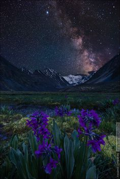 "earthandanimals: ""  Altai violets under the night sky. In the background is white Belukha. Russia, the Republic of Altai, Katun ridge, June 2014. Russia, Altai Republic, Katunsky range, june 2014 by..."