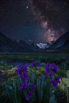 "earthandanimals: ""  Altai violets under the night sky. In the background is white Belukha. Russia, the Republic of Altai, Katun ridge, June 2014. Russia, Altai Republic, Katunsky range, june 2014 by..."