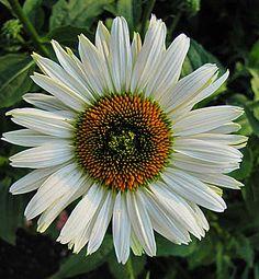 Echinacea 'Fragrant Angel'