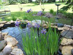 Wild iris in my goldfish pond.
