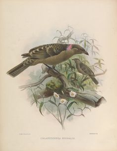 https://flic.kr/p/p1EziT | n175_w1150 | A monograph of the Paradiseidae or birds of paradise.. [London]For the subscibers, by the author,1873.. biodiversitylibrary.org/page/44792902