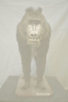 Daniel Malva - Mandrillus sphinx (Mandrill), 2013 Natural History Museum Giclée on Hahnemühle Photo Rag 308gsm, 80×53.3 cm