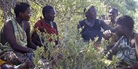 The Surprising Gut Microbes of African Hunter-Gatherers In Western Tanzania tribes of wandering foragers called Hadza eat a diet of roots, berries, and game. According to a new study, their guts are home to a microbial community unlike anything that's been seen before in a modern human population — providing, perhaps, a snapshot of what the human gut microbiome looked like before our ancestors figured out how to farm about 12,000 years ago.