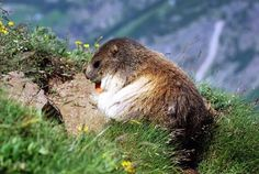 the marmotte's are coming out of their winter sleep (pictured at Saas Fee/Switzerland)