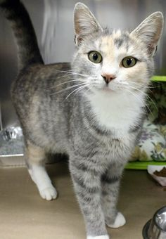 Available: 12/8 NAME: Buffy  ANIMAL ID: 24446884 BREED: DSH  SEX: Female  EST. AGE: 2 yrs  Est Weight: 6.10 lbs Health:  Temperament: friendly-  ADDITIONAL INFO:  RESCUE PULL FEE: $39