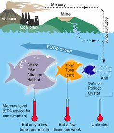 Mercury-containing plants and tiny animals are eaten by smaller fish that are then eaten by larger fish, whose tissue accumulates mercury. That is why larger, longer-living predators such as sharks and swordfish tend to have more of the toxin than smaller fish such as sardines, sole, and trout.