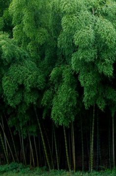 Bamboo forest in Kyoto, Japan (photo: Weijie~) Mother Earth, Mother Nature, Bamboo Forest Japan, Dame Nature, Foto Transfer, Japanese Bamboo, Forest Bathing, Green Garden, Eco Green