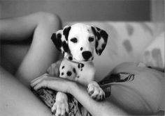 puppy love - Dalmation - why is it so rare to see one ?