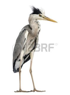 Picture of Grey Heron standing, Ardea Cinerea, 5 years old, isolated on white stock photo, images and stock photography. Grey Heron, 5 Year Olds, Oil Paintings, 5 Years, Stock Photos, Pictures, Photography, Animals, Image
