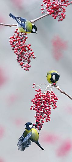 Birds And Berries.