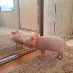 ¿Aún no conocías a #Priscilla? La #cerdita más famosa de Instagram #piggy #piglet