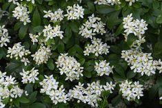 Smuk, stedsegrøn plante med hvide blomster fra foråret og hen over sommeren. Blomsterne dufter af appelsin og tiltrækker bå...