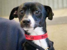 * Urgent * A1355580 Gallo  Gallo a NEUTERED male black & white Chihuahua/ Mini Pinscher mix.1 years old 13 pounds, he has been at  shelter since 11/3/2012. Gallo is kenneled 24/7 with other dogs is such a sweet guy!He really wants to be your new best friend, so please can't you come adopt or rescue this little boy. All North Central animals come spayed/neutered, microchipped and current on all their shots (including rabies). North Central LA City shelter; 3201 Lacy St., Los Angeles…