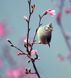 Bird lovely pink blossoms