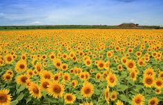 今年の夏はひまわり畑に行ってみませんか?全国には絶景ひまわり畑がたくさん!そこで今回は、1度は見たいひまわり畑名所6選をご紹介いたします。