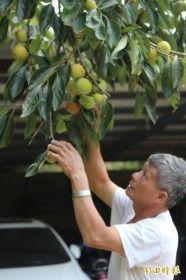 味衛佳柿餅觀光農場業者劉理鑑說,往年這個時候,柿子樹上的柿子都已經轉橘黃色,現在卻依舊保持青綠色,晚熟大約半個月。(記者黃美珠攝)