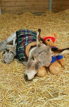 If I had a baby donkey! Baby Donkey, Cute Donkey, Mini Donkey, Baby Cows, Baby Elephants, Cute Baby Animals, Farm Animals, Animals And Pets, Funny Animals