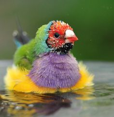 Not sure what kind of bird this is (Gouldian Finch maybe?), as it came from a Tumblr site and no info was given.