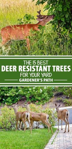 15 Best Deer-Resistant Landscape Trees for Your Yard Love 'em or not, deer are going to be around for as long as we've got gardens. The best way to prevent damage is to avoid offering up trees and plants.