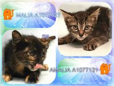 MALIA - A1077127 AND AMALIA - A1077131 - - Manhattan  Please Share:   *** TO BE DESTROYED 06/15/16 *** A CLOWDER OF CATS…..that's the term for a group or cluster of cats and our assorted group tonight is frightened and alone!! JUAQUIM and GRETA GARBO are the two adults in the group and they are just barely adults with one being a year old and the other being two years old. The kittens AMALIA & MALIA are 7 weeks old. MALIA has a mild rectal prolapse which th