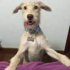 Acordar todos os dias por um pilantra como este, pedindo para passear. | 10 felicidades que só quem adotou um cachorro poderia viver