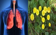 Three Best Herbs To Cure Respiratory Infections and Protect the Lungs - Viral and bacterial respiratory infections affect most of the residents of the northern hemisphere and it could take quit long to treat and relieve the symptoms, if you choose to go with conventional antibiotics to fight the causing bacteria then you won't only be risking to develop an... - Best, Best Herbs, Best Herbs Cure Respiratory Infections Protect Lungs, Cure, Infections, Lungs, Protect Lungs