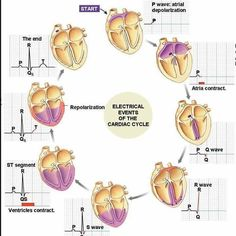 """doctordconline: """"The cardiac cycle refers to the sequence of mechanical and electrical events that repeats with every heartbeat. It includes the phase of relaxation diastole and the phase of contraction systole. #cardiaccycle #heart #cardiology..."""