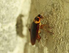 Kakkerlakken, de nachtmerrie van 90% van de bevolking