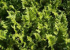"Polypodium californicum 'Sarah Lyman'  12-18""  Summer dormant; well-drained soil; drought. tolerant; light shade; hardy to 10 F  #Native Plant, #Native Fern"