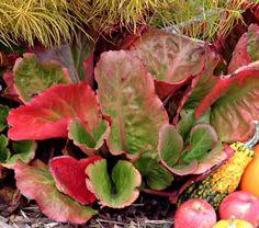 Bergenia cordifolia Winter Glow