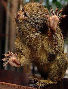 Pygmy Marmoset, Talk to the hand