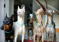 These are my friends Rescued Doberman Amy Hill Eiler she takes some awesome photo's so whoever Pins these babies just wanted to tell you ADOPT A DOBERMAN TODAY! #dobermanpinscher